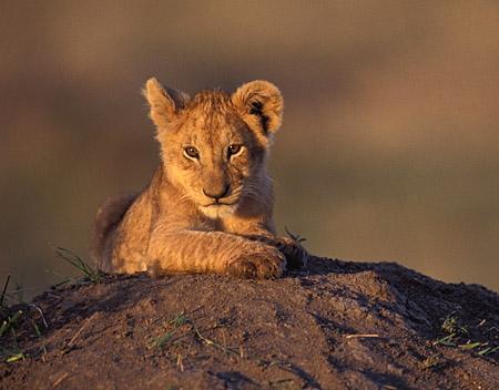 """Obrázok """"http://photographytips.com/images/8lion-cub-mara.jpg"""" sa nedá zobraziť, pretože obsahuje chyby."""